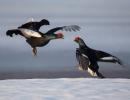 black-grouse-jpg_800
